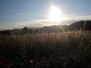Camino Wheat Field