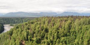 Beetle-infested spruce forest