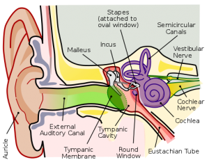 Anatomical Diagram of the Human Ear